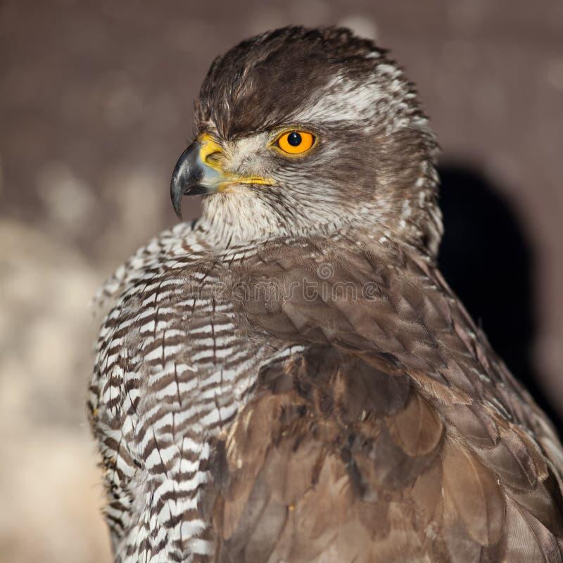 Download Close-up Portrait Of A Majestic Hawk Stock Photo - Image: 12344506