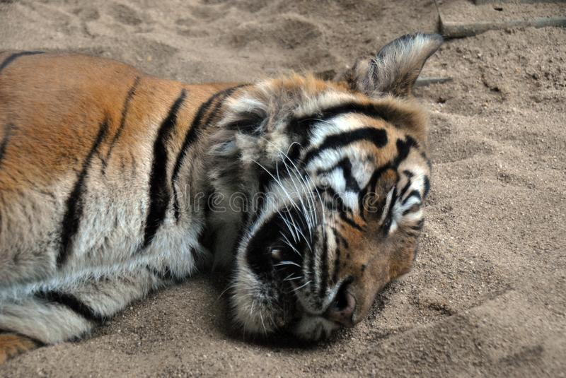 Close-up portrait of a Malaysian tiger. Sleeping in the sand royalty free stock image