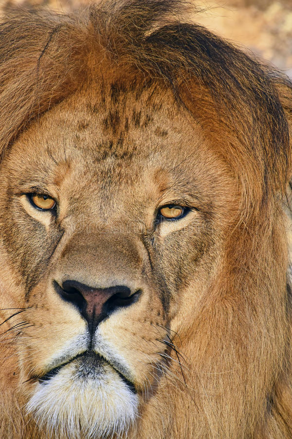 Close up portrait of male African lion. Close up portrait of mature male African lion with beautiful mane, looking at camera royalty free stock image