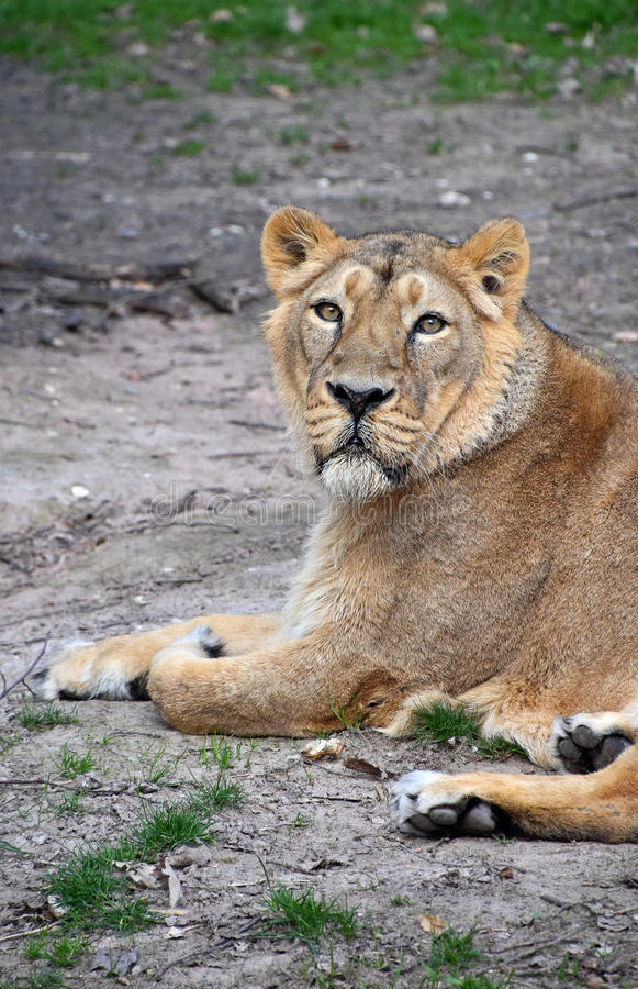 Close up portrait of male African lioness. Close up side portrait of female African lioness royalty free stock image