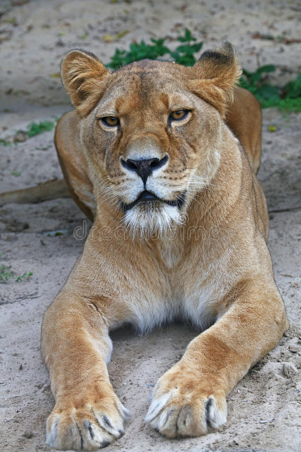 Close up portrait of male African lioness. Close up side portrait of female African lioness stock images