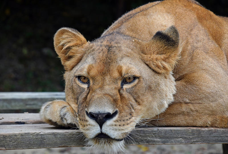 Close up portrait of male African lioness. Close up side portrait of female African lioness royalty free stock photography