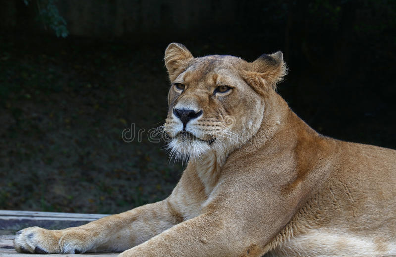 Close up portrait of male African lioness. Close up side portrait of female African lioness stock photography
