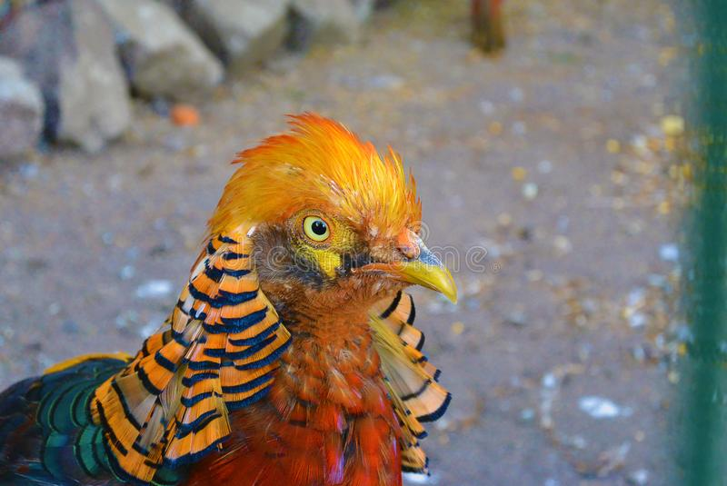 Close-up portrait of the golden pheasant - Chrysolophus pictus royalty free stock photography