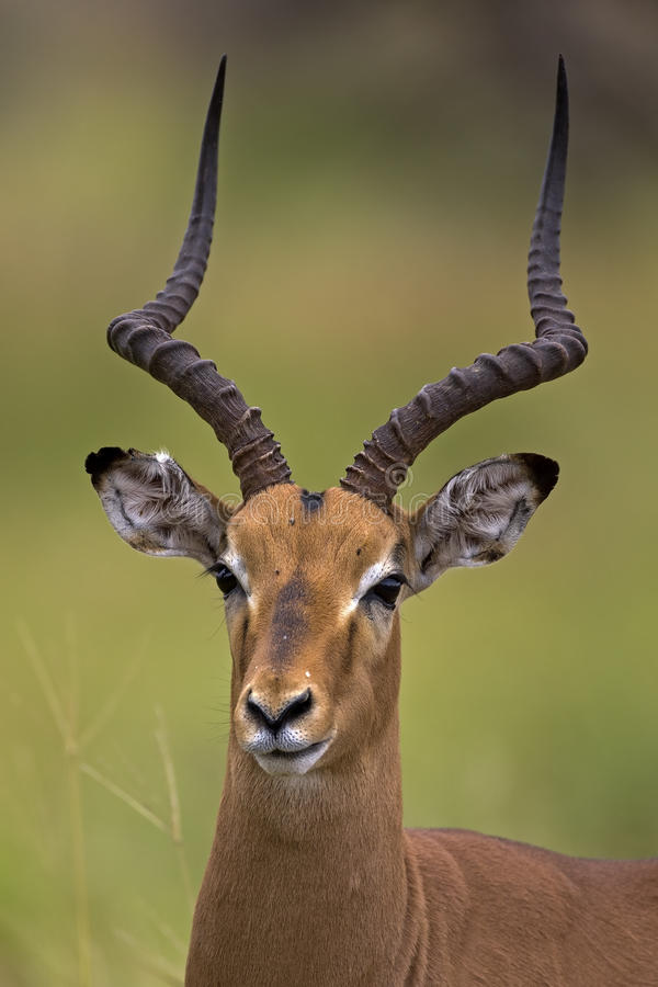 Download Close-up Portrait Of Male Impala Stock Image - Image of mature, wilderness: 19031333