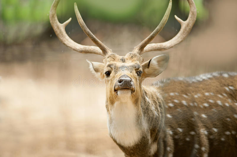 Close up portrait of a male indian deer royalty free stock image