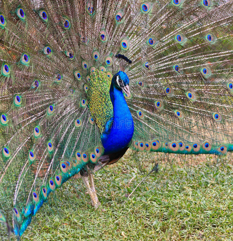 Download Close-up Portrait Of Male Peacock Stock Image - Image: 38263839
