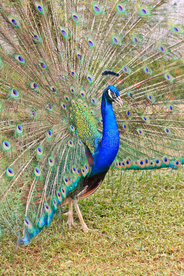 Download Close-up Portrait Of Male Peacock Stock Photo - Image: 38263896
