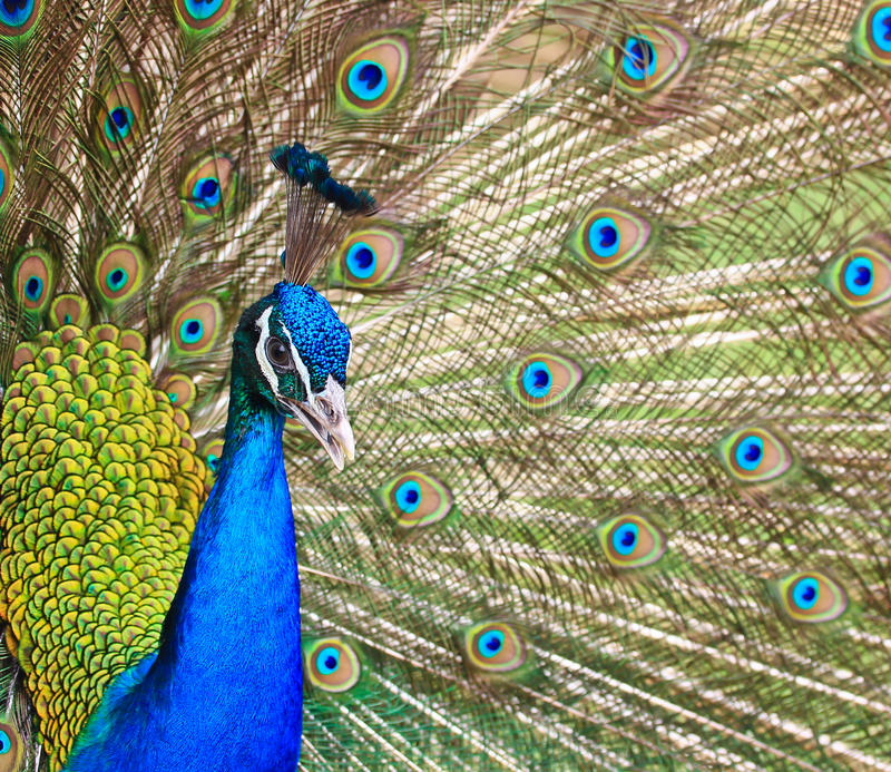 Download Close-up Portrait Of Male Peacock Stock Photos - Image: 38264323