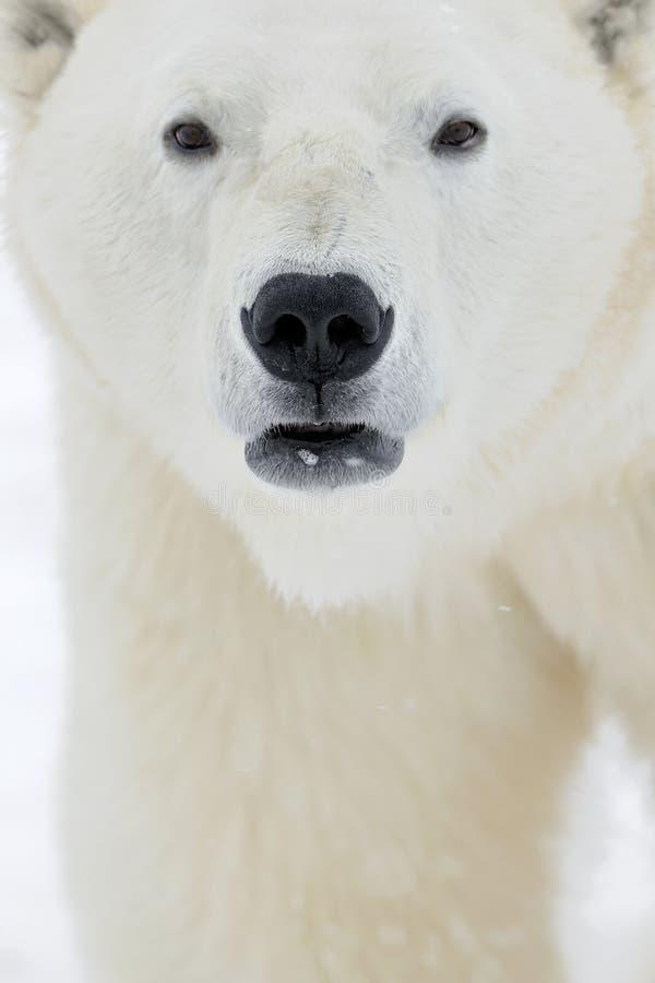 Close up portrait Male polar bear (Ursus maritimus). Polar arctic stock photos