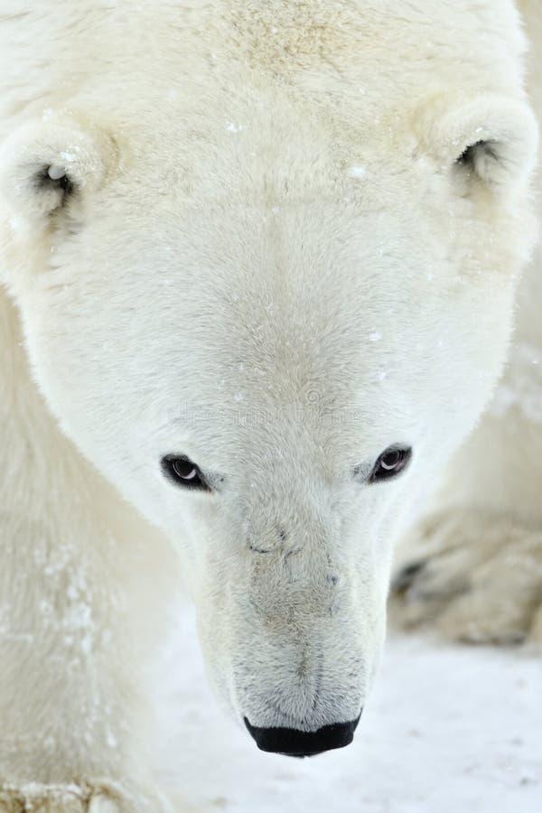 Close up portrait Male polar bear (Ursus maritimus). Polar arctic royalty free stock images