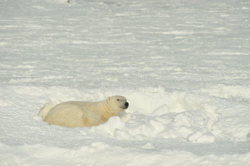 Close up portrait Male polar bear (Ursus maritimus). Polar arctic royalty free stock image
