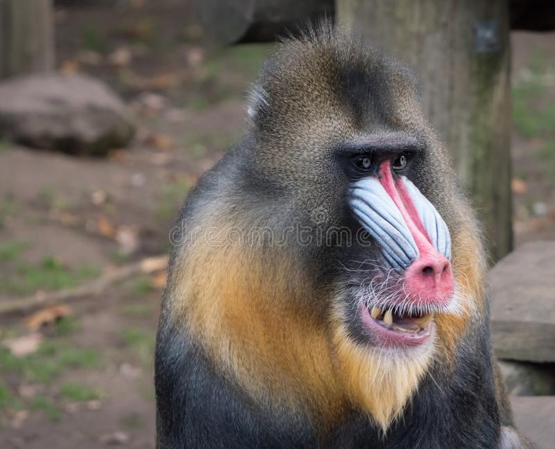 Portrait of a mandrill monkey. Close-up portrait of a mandrill monkey with a colorful face royalty free stock photo
