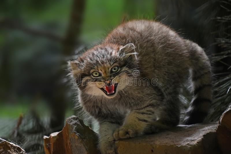 Close up portrait of manul kitten hissing royalty free stock photo