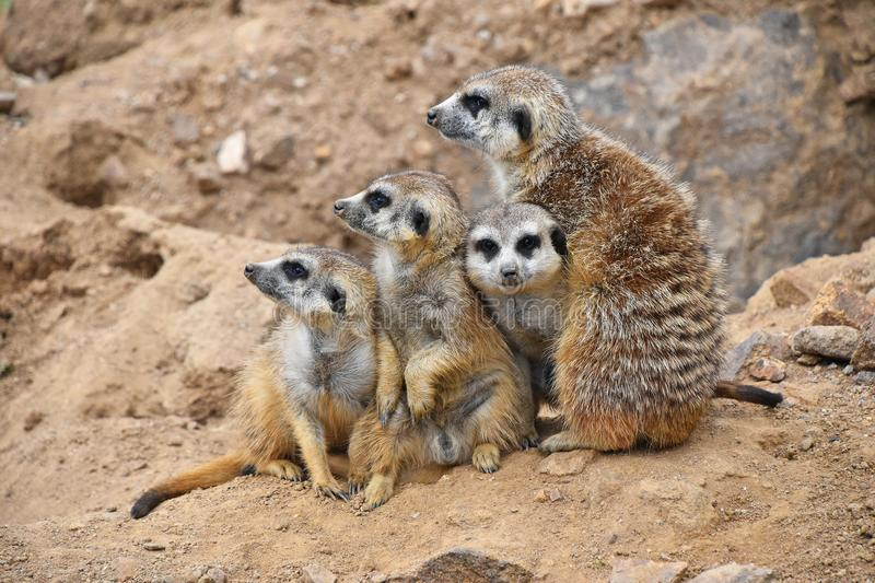 Close up portrait of meerkat family looking away stock photo