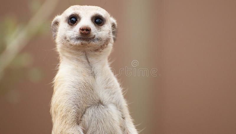Meerkat. A close up portrait of a meerkat royalty free stock image