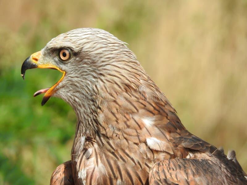 Close-up portrait milvus migrans, black kite, yellow-billed kite, open beak portrait single stock photos