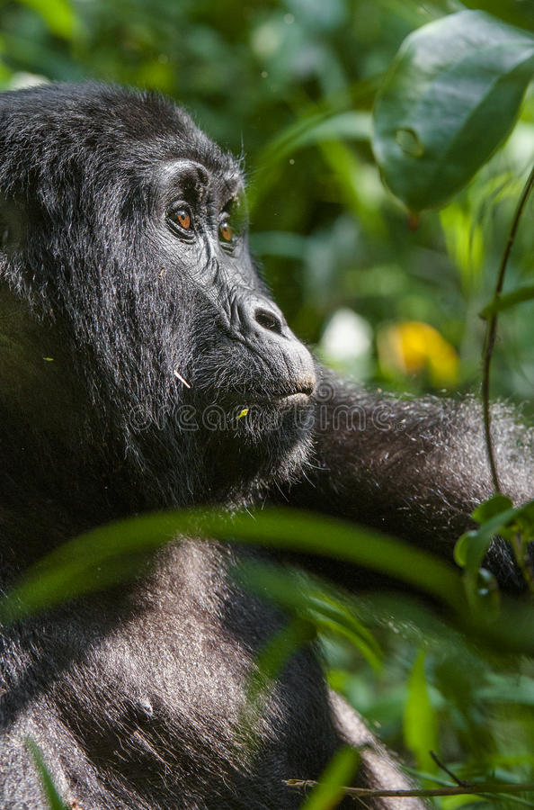 Close up Portrait of a mountain gorilla at a short distance in natural habitat. The mountain gorilla (Gorilla beringei beringei) . Bwindi Impenetrable Forest stock image