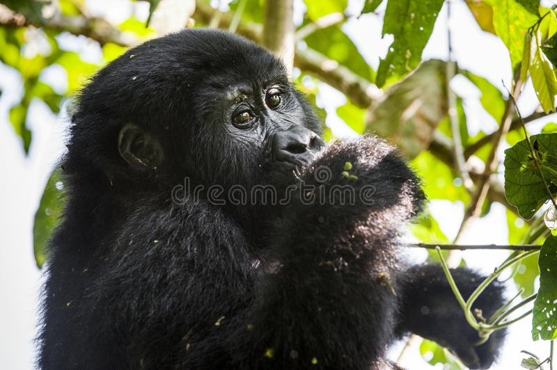 Close up Portrait of a mountain gorilla at a short distance in natural habitat. The mountain gorilla Gorilla beringei beringei. Bwindi Impenetrable Forest royalty free stock photos