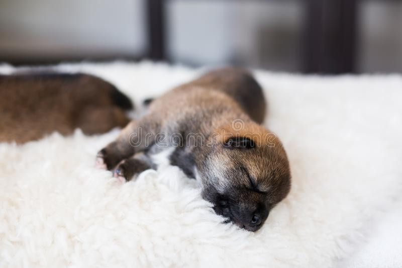 Close-up portrait of beatiful Shiba Inu puppy sleeping on the blanket royalty free stock image