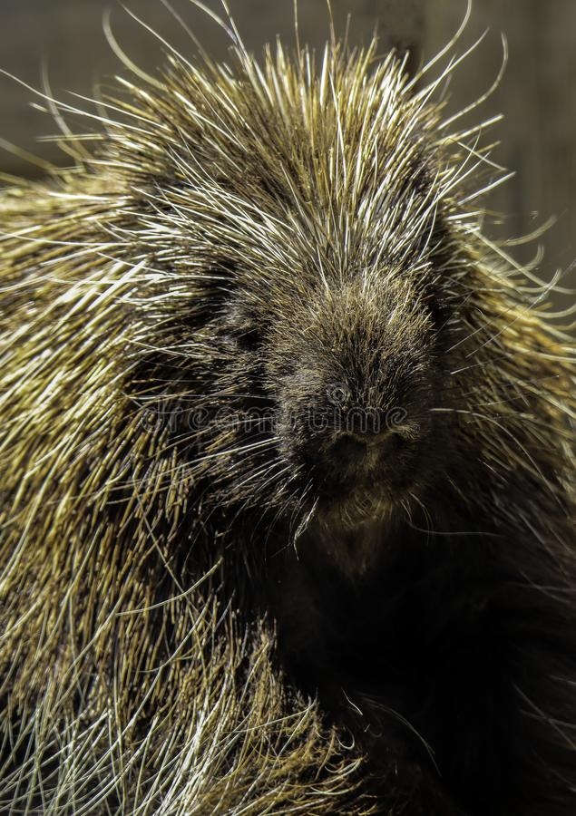 Porcupine. Close up portrait of North American rodent royalty free stock photography