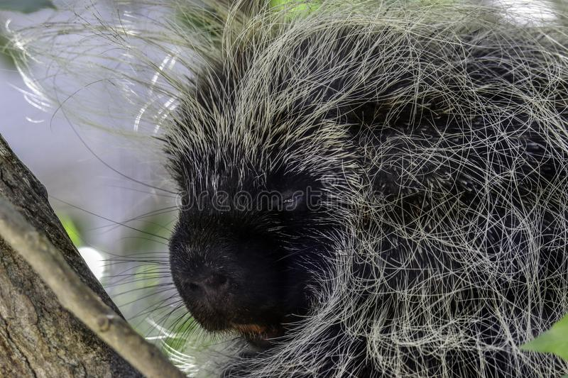 Porcupine. Close up portrait of North American rodent stock images