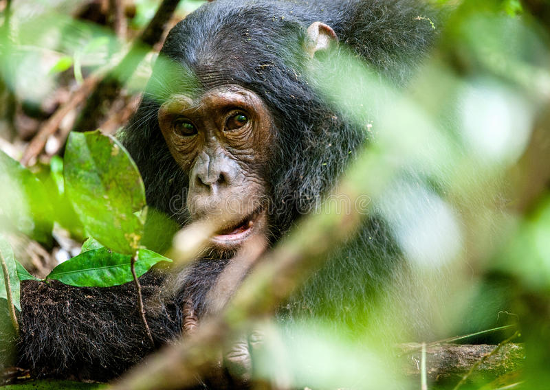 Close up portrait of old chimpanzee Pan troglodytes. Resting in the jungle of Kibale forest in Uganda royalty free stock photos