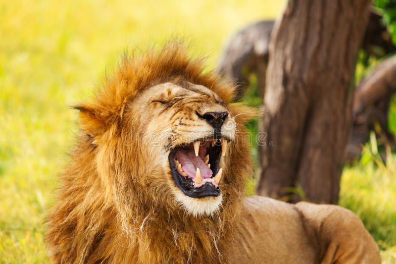 Close-up portrait of an old yawning lion. On nature background stock photos