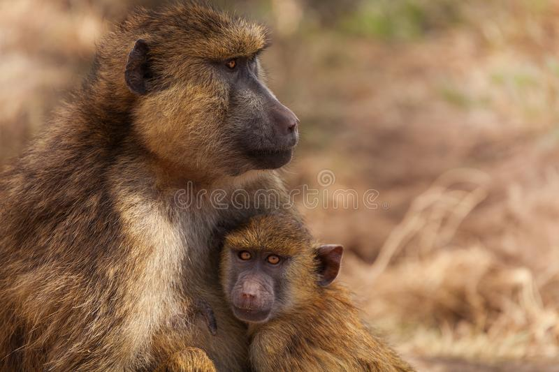 Olive Baboon mother with baby, Kenya, Africa. Close-up portrait of Olive Baboon mother with baby, Kenya, Africa stock image