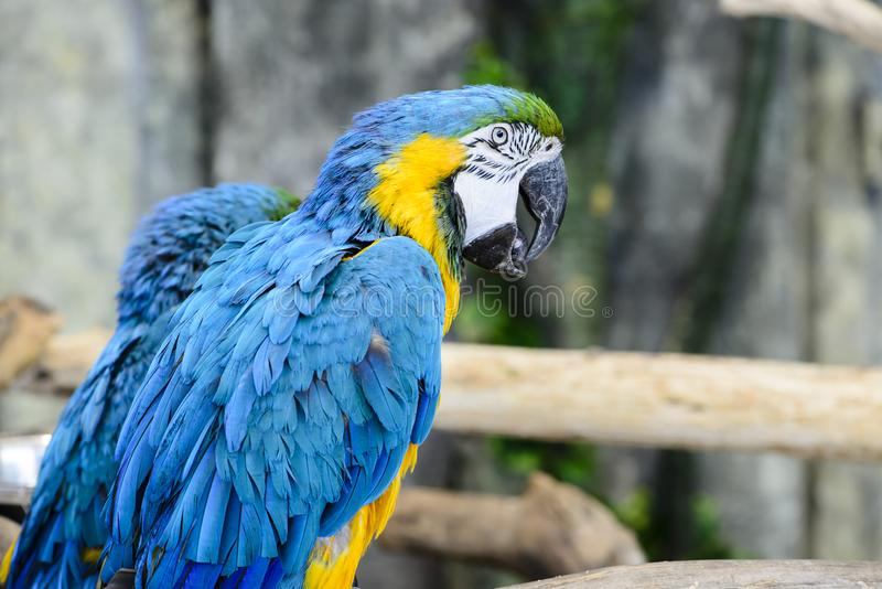 Close-up portrait one blue-and-yellow macaw ara ararauna showi royalty free stock images