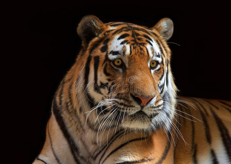 Portrait of a serious tiger on black background. Close up portrait of one male tiger looking to viewers right. The largest cat species, most recognizable for its royalty free stock images