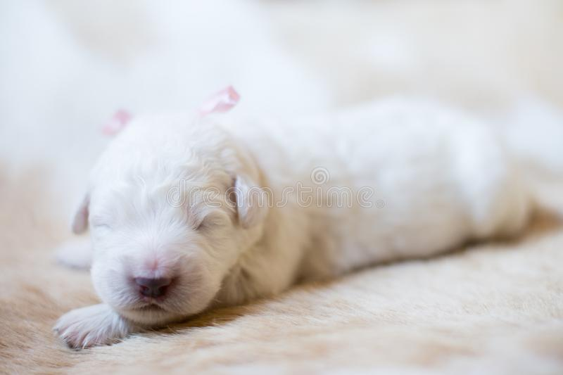 Close-up Portrait of one week old maremma puppy sleeping on the cow& x27;s fur. Sweet white pup looks like a bear. Close-up Portrait of one week old maremma royalty free stock photos