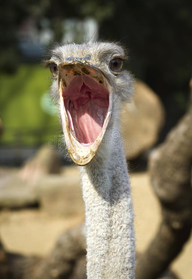 Download Close Up Portrait Of Ostrich Stock Image - Image: 23690101