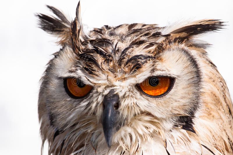 Close up portrait of an owl stock images