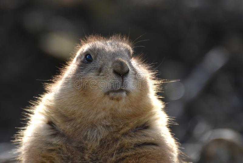 Prairie dog portrait. Close up portrait photo of a prairie dogs` head and face royalty free stock photography