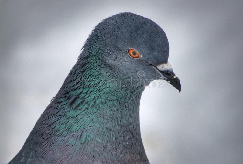 Close-up portrait of a pigeon royalty free stock photos