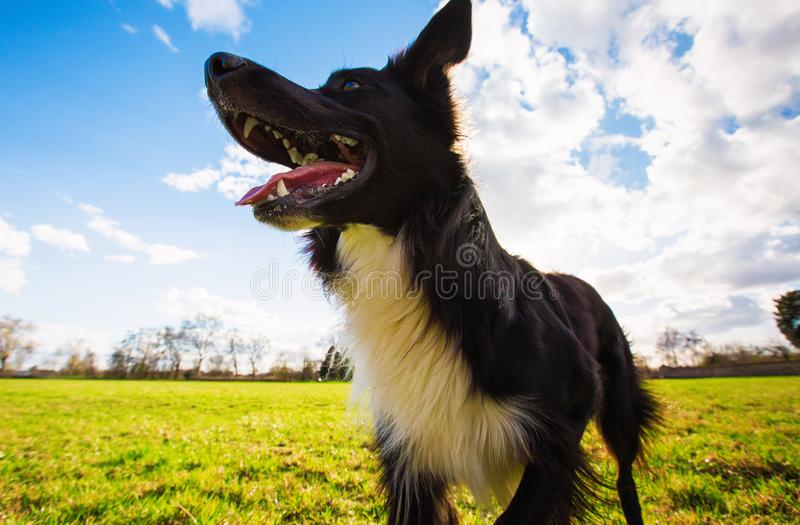 Close up portrait of playful purebred border collie dog playing outdoors in the city park. Adorable puppy enjoying a sunny day in royalty free stock photography