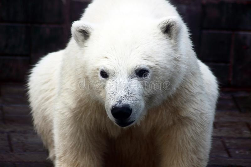 Close up portrait of polar bear royalty free stock photography