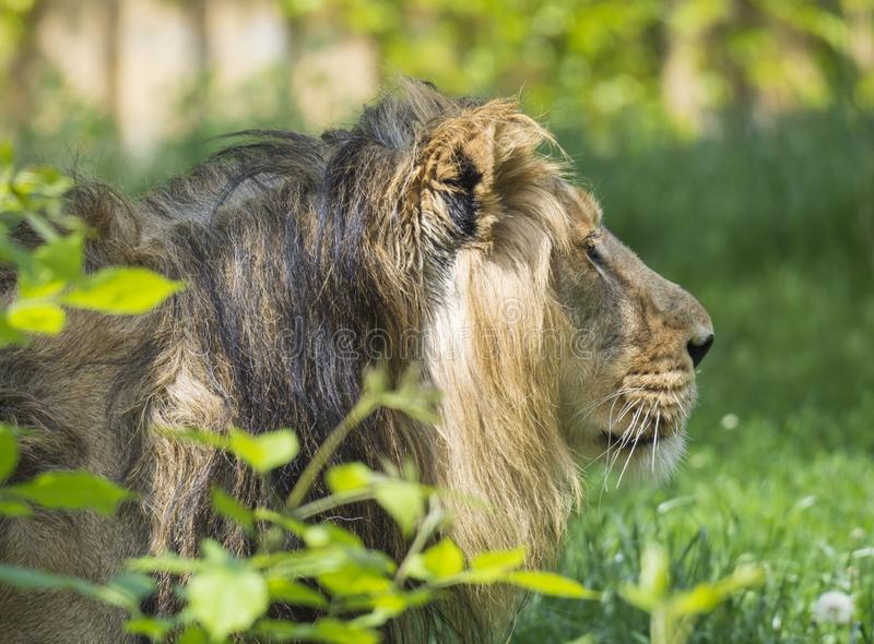 Close up portrait in profile of head an Asiatic lion, Panthera leo persica, walking in the grass The King of beasts. Biggest cat of the world. The most royalty free stock photo