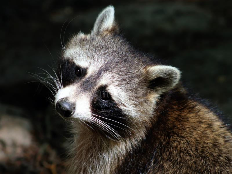 Close-up portrait of raccoon with `bandit`s mask`. Raccoons are intelligent and nocturnal, their `bandit`s mask`, ringed tail and dexterous front paws stock images