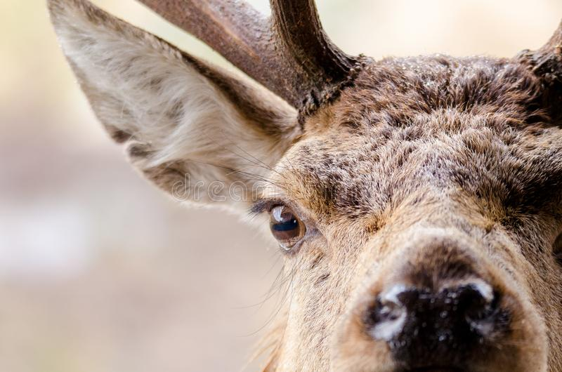 A close up portrait of a red deer in Scotland with water droplet. S on its head royalty free stock photography