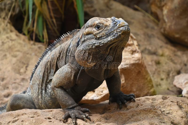 Close up portrait of rhinoceros iguana on rocks stock images