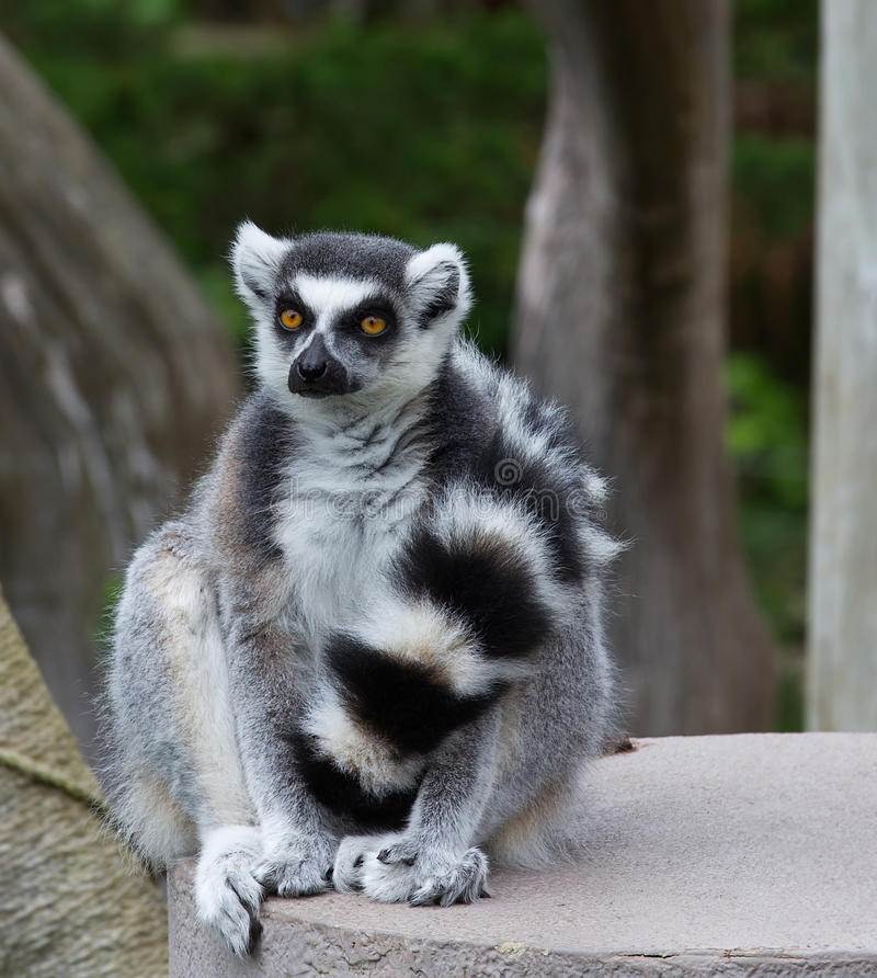 Close Up portrait Of Ring Tailed Lemur (Lemur catt. Close Up of Ring-tailed lemur(Lemur catta) sitting with his tail in front royalty free stock photography
