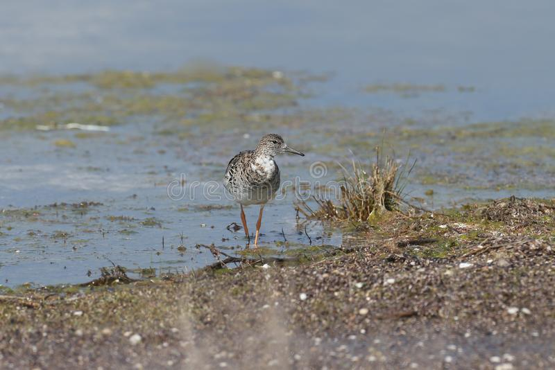 Close up portrait of a ruff female royalty free stock images
