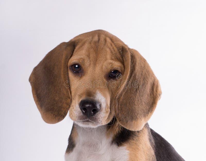 Close-up portrait of sad beagle dog puppy looking at camera isolated on white bakcground stock photo