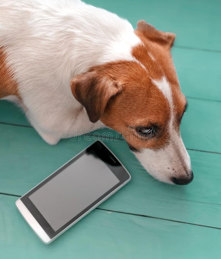 Close-up portrait of sad cute dog Jack russell lying on green blue wooden floor next to mobile phone. Pet waiting for a royalty free stock photography