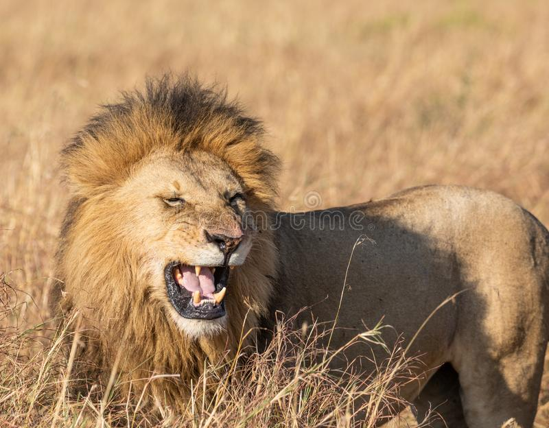 Close up portrait of Sand River or Elawana Pride male lion, Panthera leo, yawning and showing his teeth while standing. In the tall grass of Masai Mara royalty free stock photo