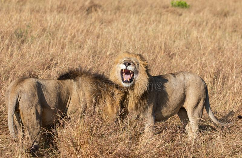 Close up portrait of Sand River or Elawana Pride male lion, Panthera leo, yawning and showing teeth. While standing next to his brother in tall grass of Masai stock photography
