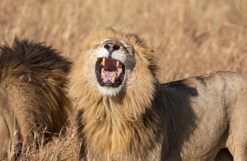 Close up portrait of Sand River or Elawana Pride male lion, Panthera leo, yawning and showing teeth while standing. Next to his brother in tall grass of Masai stock photo