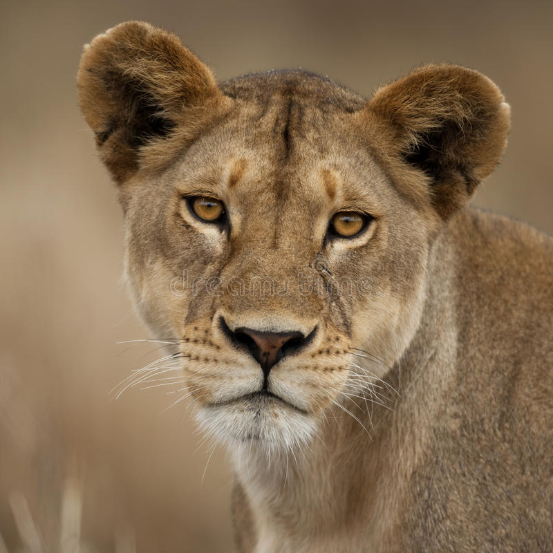 Close-up portrait of Serengeti National Park stock photos